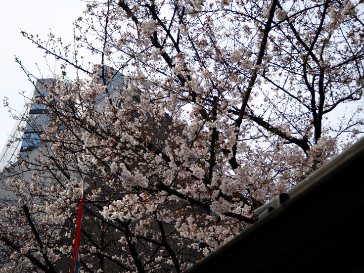 2017-04-05 Cherry Blossoms